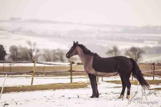 no photoshop horse snow