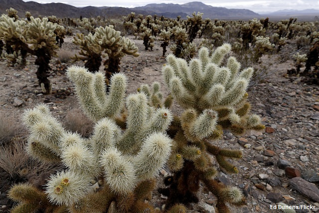 Why I Love Joshua Tree National Park - Teddy Bear Cholla