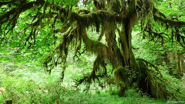 Why I love Olympic National Park- Hall of Mosses John Walker