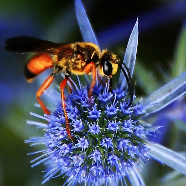 A close-up photograph of a yellow-orange bee on a blue flower