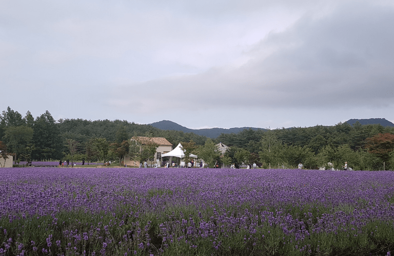 Lavender circled by greeneries of the mountains