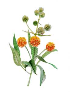 A realistic watercolor painting of orange flowers on a green stem
