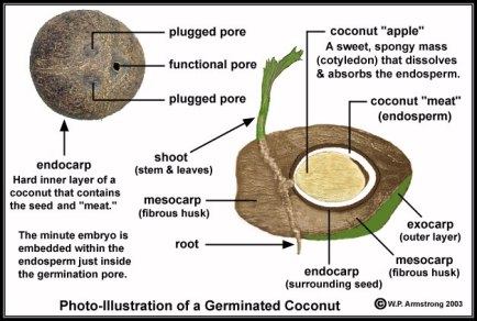 photo illustration of germinated coconuts