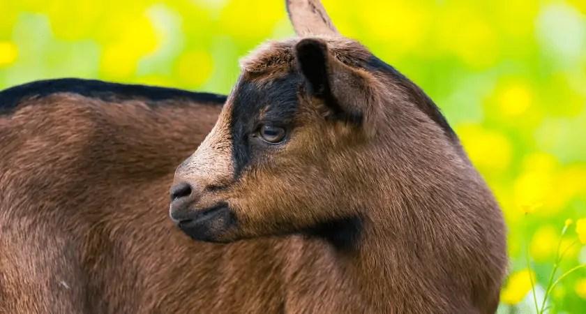 What is Nigerian Dwarf Goat