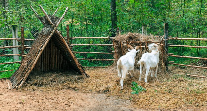 Shelter | Wether Goat