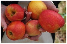 Ma was picking some apples, so I made her hold them out for a food-blog-style photo.