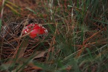 A redcap toadstool breaking through.