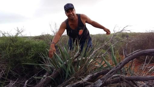 """Capes zeigt uns die """"native Flax"""", eine Pflanze die leicht nussig schmeckt"""