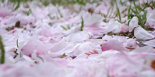 Die japanische Kirschblüte ist sehr kurz. Bereits ein Regenschauer oder Wind lässt alle Blütten auf den Boden fallen.