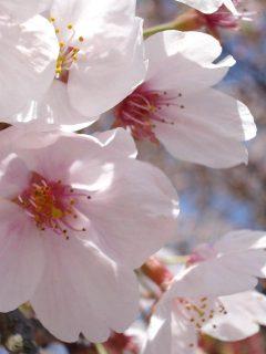 Die Blüten der japanischen Somei-yoshino Kirsche haben fünf zarte Blütenblätte und sind nicht gefüllt.