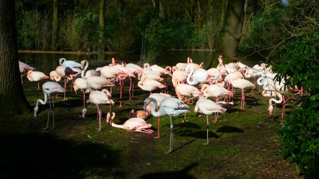 Flamingos in the Park area of the Burger's ZOO