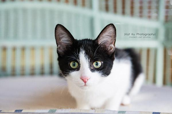 Adopt Me! Pippa the Kitten   Kat Ku   Modern Dog and Cat