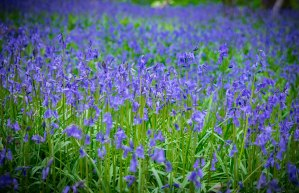 bluebells woods sussex photographer