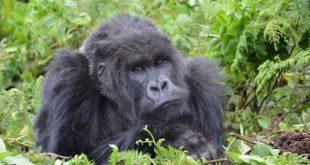 Budget Gorilla Trekking Budget Gorilla Trekking - Affordable African Safaris Gorilla trekking in uganda - 7 Days Budget Gorilla Trekking  Uganda
