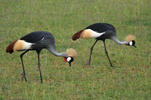 Uganda Birding Tour uganda birding tour - Birding safari to Pearl of Uganda by katona tours3 300x200 - 12 Days Uganda Birding Tour – Bird watching in Uganda