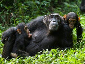 Chimpanzee Tour Ngamba Island  - chimpanzees ngamba katona tours - chimpanzees-ngamba-katona-tours