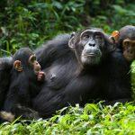 Chimpanzee Tour Ngamba Island  - chimpanzees ngamba katona tours - Get this Cheap Gorilla Trekking Uganda and Rwanda offer for you