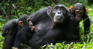 Chimpanzee Tour Ngamba Island Chimpanzee Tour Ngamba Island - chimpanzees ngamba katona tours - 3 Days Chimpanzee Tour Ngamba Island