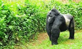 Gorilla Trekking Uganda Gorilla Trekking Uganda - gorilla trek bwindi katona tours - 3 Days Gorilla Trekking Uganda