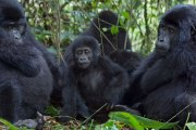 Chimpanzee Tracking in Kyambura Gorge