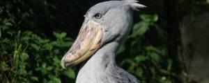 Uganda Birding Tour uganda birding tour - shoebill by katona tours 300x120 - 12 Days Uganda Birding Tour – Bird watching in Uganda
