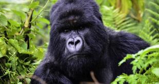 Gorilla Tour in Rwanda 1 Day