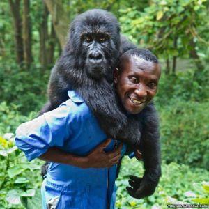Cheap Gorilla Trekking Uganda and Rwanda  - Gorilla Trekking in Congo by Katona Tours - gorilla-trekking-in-congo-by-katona-tours