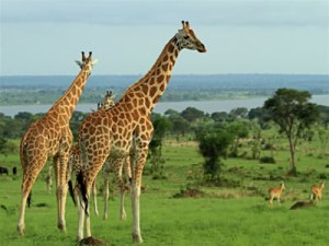 Rwanda National Parks rwanda national parks - akagera national park by katona tours 300x225 - Rwanda National Parks-Akagera Park-Volcanoes Park-Nyungwe Forest