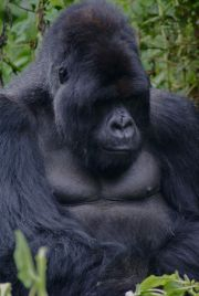 1 Day Gorilla Trekking in Congo