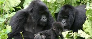 Gorilla Habituation Experience Gorilla Habituation Experience - gorilla tracking by katona tours 300x129 - Gorilla Habituation Experience in Uganda Bwindi Forest