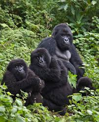 Gorilla Trekking gorilla treking - gorilla trek by katona tours - Gorilla Treking