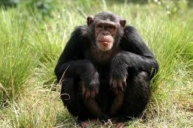 Gorilla and Chimpanzee Tracking gorilla and chimpanzee tracking - chimpanzee tracking kibale forest - Gorilla and Chimpanzee Tracking in Uganda