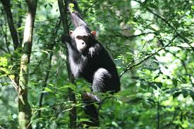chimpanzee=tracking-in-budogo-forest Chimpanzee Tracking in Budongo Forest - chimpanzeetracking in budogo forest 1 - Chimpanzee Tracking in Budongo Forest Kaniyo Pabidi