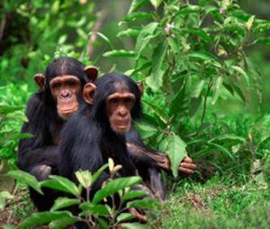 Kyambura Gorge Kyambura Gorge - chimp tracking in kyambura gorge 300x254 - Chimpanzee Tracking in Kyambura Gorge