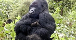 Double Gorilla Tracking Rwanda - gorilla safari rwanda by katona tours - Double Gorilla Tracking Rwanda in Volcanoes Park 2 Days