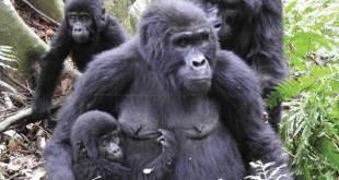 1 Day Gorilla Tour Uganda 1 day gorilla tour uganda - Gorilla tour mgahinga park by katona tours - 1 Day Gorilla Tour Uganda Mgahinga Park