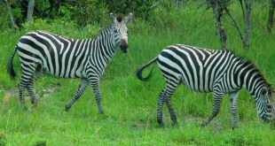 1 Day Tour Lake Mburo 1 day tour lake mburo - lake mburo tour by katona tours - 1 Day Tour Lake Mburo National Park