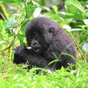 Rwanda Tour with Golden Monkeys and Chimps