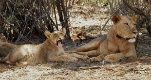 Uganda Tours uganda tours - lions in queen elizabeth park by katona tours - Uganda Tours