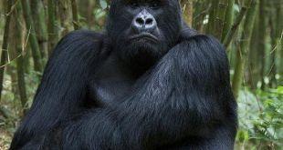 Mubare Gorilla Family Mubare Gorilla Family - gorilla treks rwanda by katona tours - Mubare Gorilla Family in Buhoma Gorilla Group