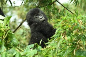 Best Country to Trek Gorillas