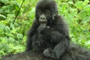 Oruzogo Gorilla Family