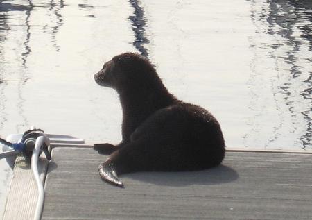 Sea Otter on the dock