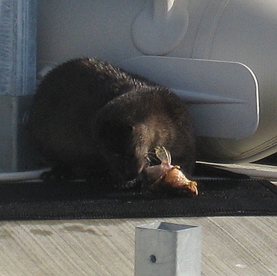 Sea Otter Snacking