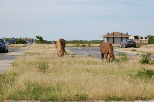 Two of the Assateague Ponies.