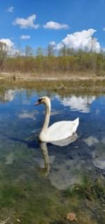 Schwanensee - an der Isar