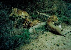 Safari lions