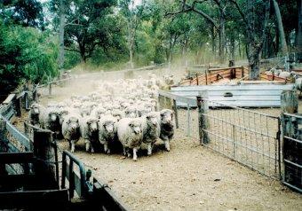 Perth yall sheep