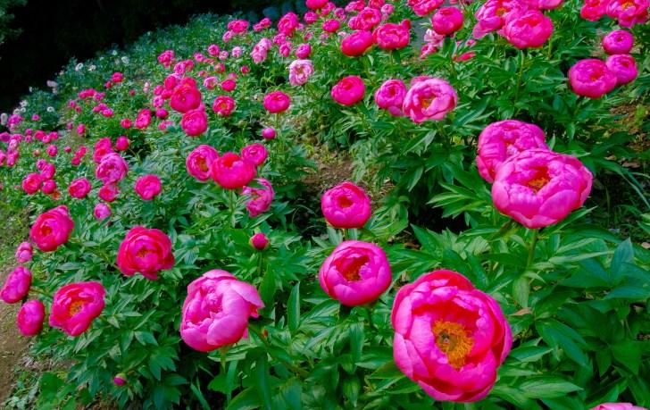 濃いピンクの芍薬