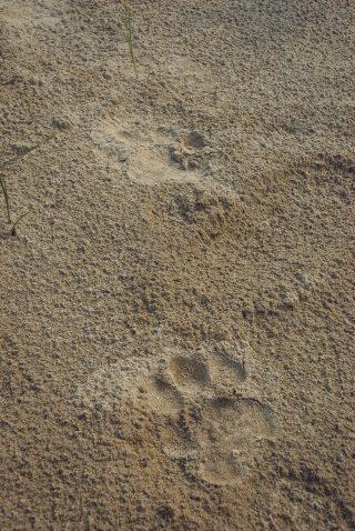 impronte al Bardia National Park
